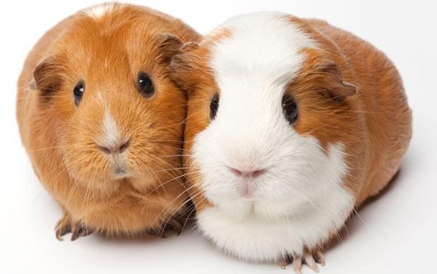 guinea-pig-hybridoma-production