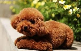 【KANATA 中文学校作文选登】我家的小狗  七册班   王伊晴