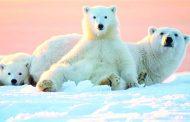 【OTTAWA天天中文学校作文选登】保护北极熊